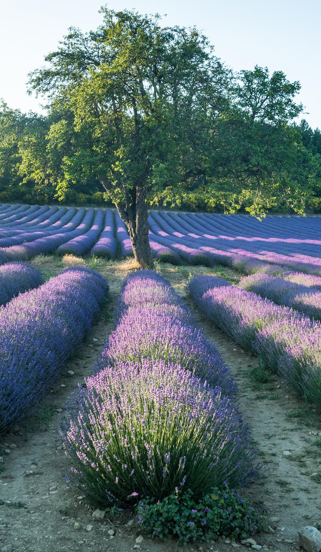 Lavender tour provence