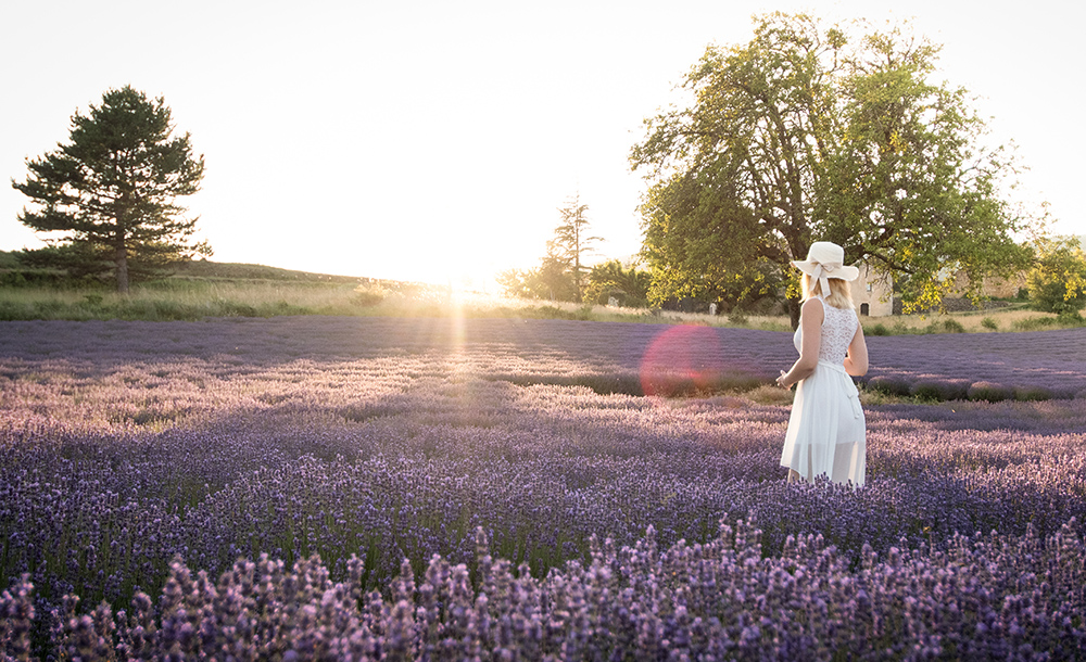 lavender fileds in provence